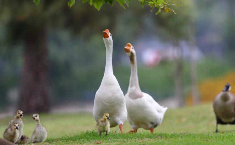 Выращивание уток и гусей – это просто!