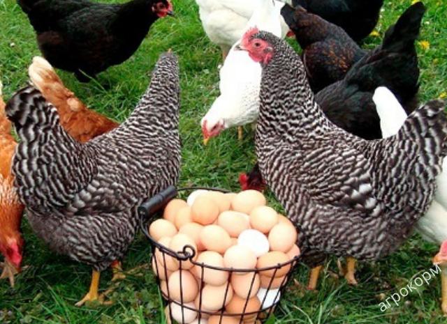 Czy kurczaki wędrują bez kogutów?