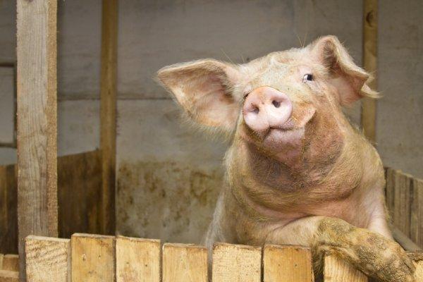 Цікавинки про свинки