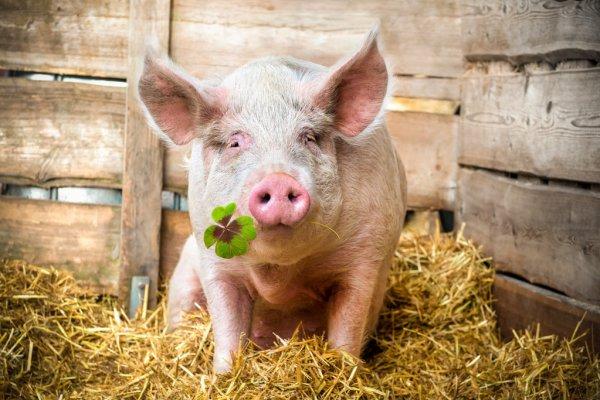Вирощування свиней – дуже вигідна справа!