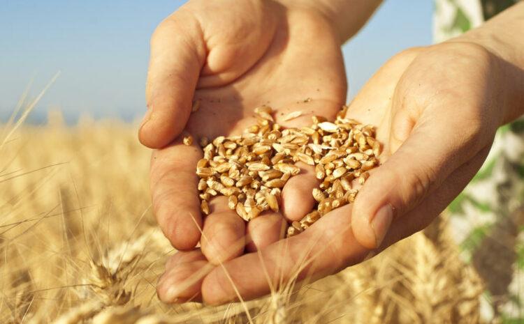 Аграрии Волыни являются лидерами по урожайности зерновых!
